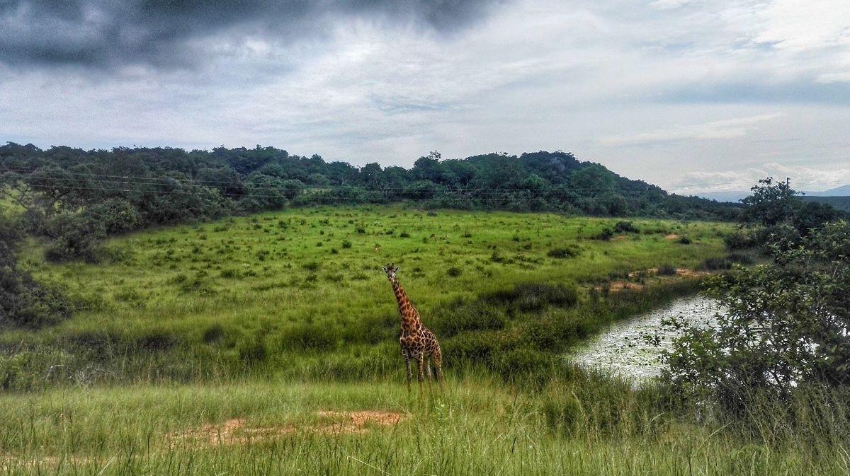 Random zsiráf a Krüger Nemzeti parkon kívül (majdnem megtámadott :D )