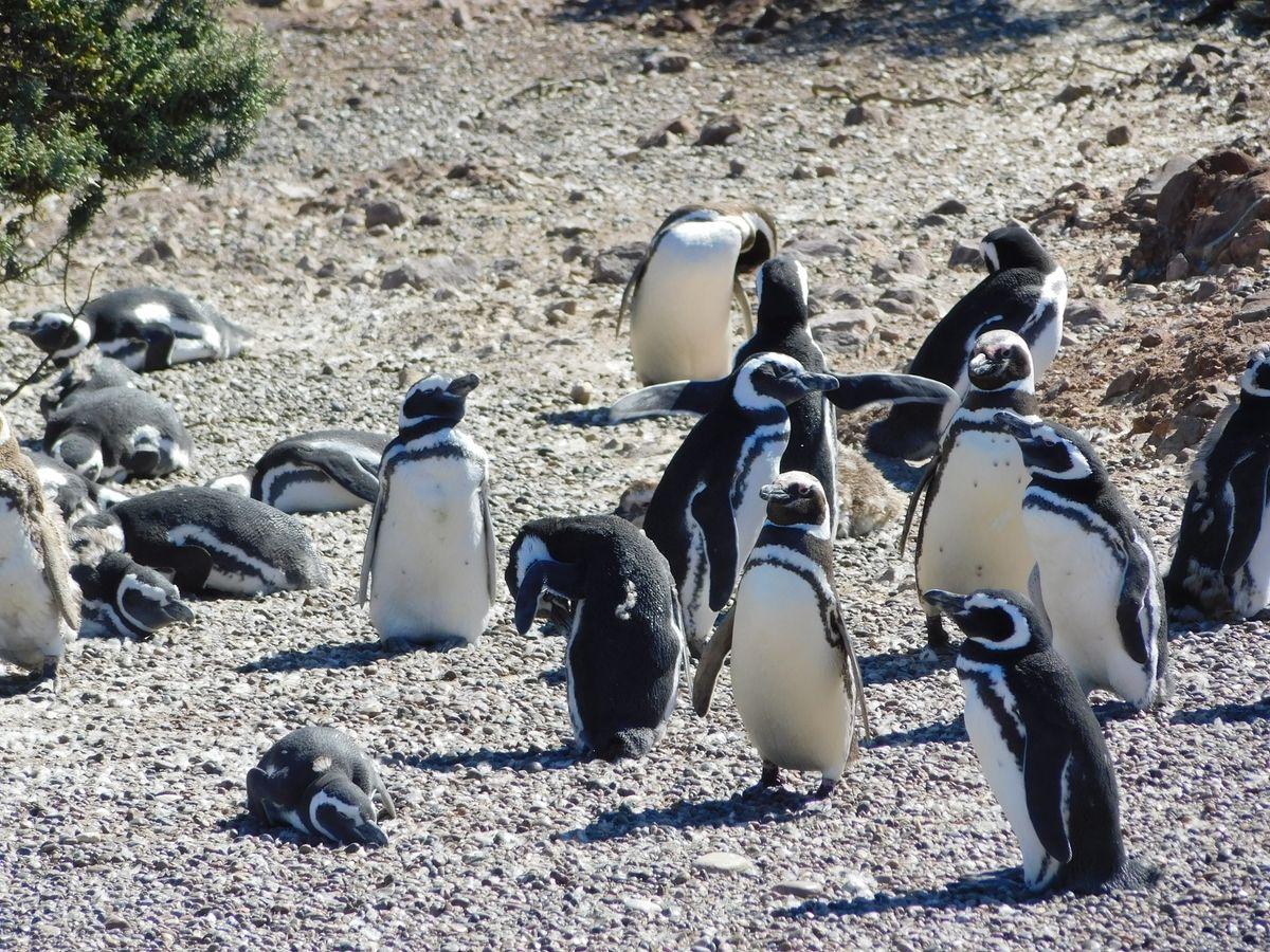 Magellan-Pingvinek
