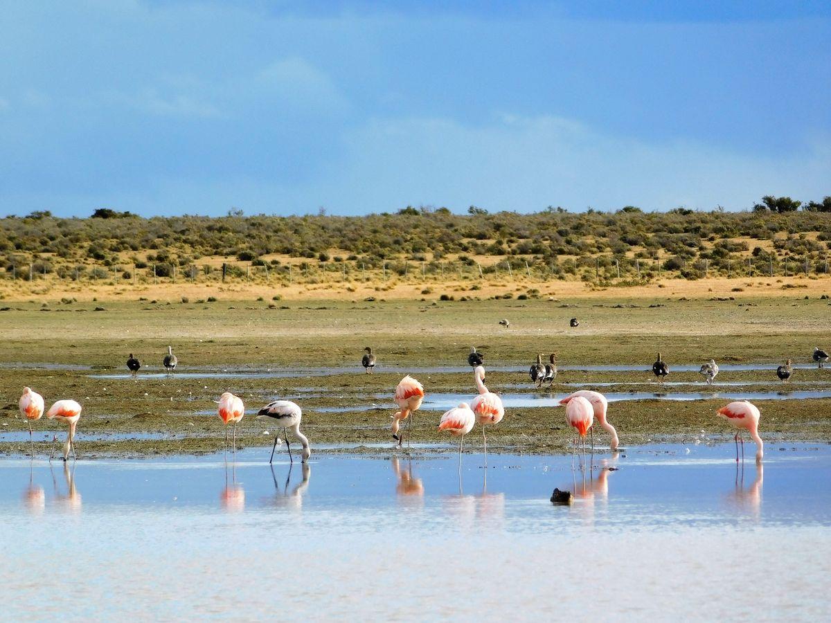 Pampa-flamingók