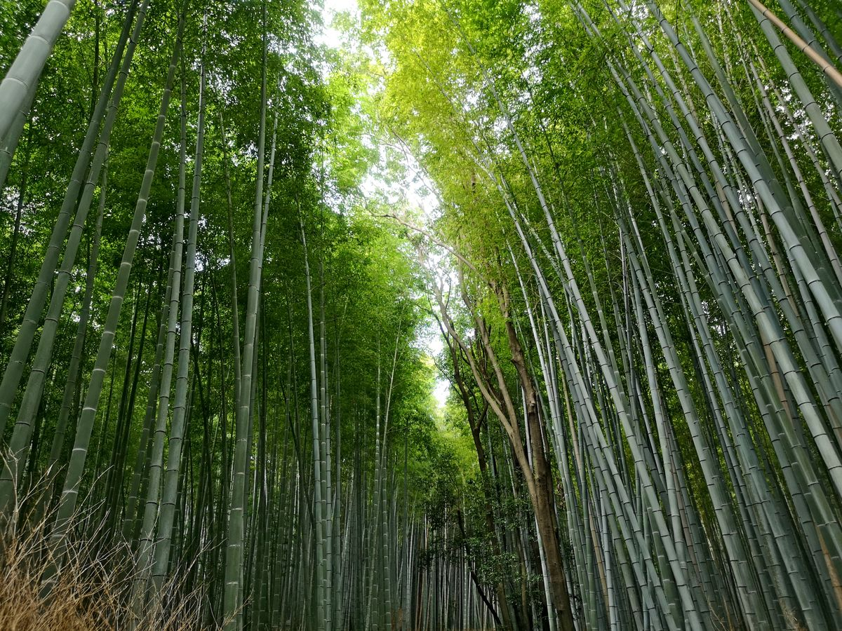 Kyoto Bamboo fotest