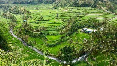 rizsföld