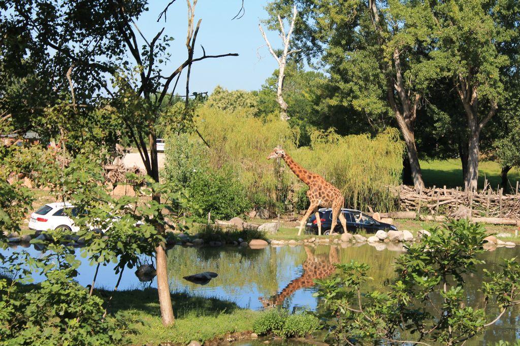 Zsiráf a szafari túrán